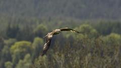 Red Kite flight (Margaret S.S) Tags: red kite bird flight raptor