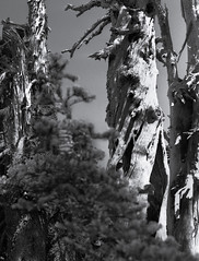 Tree Detail, Hurricane Ridge, Olympic National Park (jfearer_photo) Tags: park stilllife tree 120 film hurricane workinprogress brush ridge national medium format olympic fp4 fp4125 500px notpublished rodinol1100stand