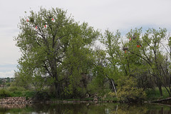 Heron Rookery Status Report for May 20, 2016 at Metzger Farm Open Space, Colorado (nature80020) Tags: bird nature colorado wildlife owl rookery greathornedowl herons nests incubation greatblueherons statusreport metzgerfarmopenspace owlinheronrookery