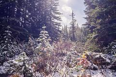 Peyto Lake (flippers) Tags: trees snow canada tree alberta peytolake