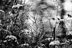 (Angela Schlafmtze) Tags: natur pflanzen blumen natura fiori piante prato rasen naturalmente