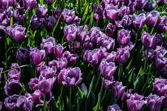 DSC_3682 (Copy) (pandjt) Tags: flowers bc tulip abbotsford tulipfestival abbotsfordtulipfestival