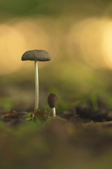 mushroom spring (neals pics) Tags: mushroom mushrooms fungi funghi fungus nature natural naturallight woodland woods park nowtonpark canonef100mmf28macro colour color shallow dof size small