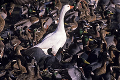 White goose amongst crowded shoreline with ducks and coots, Greenlake, Washington State USA (Jim Corwin's PhotoStream) Tags: travel vacation lake bird tourism water birds animals horizontal swimming outdoors photography duck nw alone chaos natural northwest unique wildlife sightseeing scenic ducks nobody goose greenlake independent rush pacificnorthwest mallard naturalworld anas coot crowded rushing coots followtheleader anatidae platyrhynchos largegroup beautyinnature animalthemes standoutfromthecrowd localattractions whitegoode
