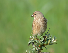 Linnet (female) (Peanut1371) Tags: brown bird finch linnet nationalgeographicwildlife