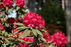 L1008746 (LaBonVampire) Tags: leica flowers nature zeiss carlzeiss zm leicam8 teletessart485 teletessar85