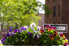 Flower pot (Mike GL) Tags: nyc newyorkcity flowers newyork color brooklyn colorful front pot porch