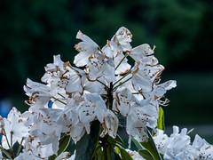 P1020271 (sebastiang2) Tags: plant flower europe royal poland polska panasonic baths warsaw warszawa kwiat azienki krlewskie fz72