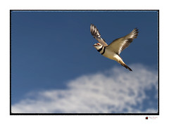 Killdeer In Flight (NYC sharpshooter) Tags: park wild sky white black color cute bird art nature animal silhouette sign set fauna illustration forest freedom fly flying wings community kill pattern graphic natural symbol outdoor drawing hawk killdeer pigeon dove background wildlife watching flock group cartoon banner flight decoration wing lakes feather meadow icon deer communication collection sparrow elements outline vector isolated soar flushing