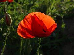 Mohnblume im Abendlicht (Manuela Vierke) Tags: red summer plant flower rot field juni germany deutschland sommer natur pflanze feld felder blumen insel blume rgen landschaft isle mecklenburgvorpommern mohn 2016 mohnblume meckpomm