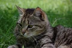 Late tiger, pondering (dididumm) Tags: cat sitting tabby tiger rip meadow wiese katze pondering sitzen getigert nachdenken grbeln berlegen