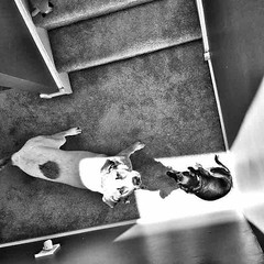 Karma and The Toots #pets #love #family #sisters #dogs #home #jestergraphix #blackandwhite #b&w #newjersey #nj (jestergraphix) Tags: ifttt instagram karma the toots pets love family sisters dogs home jestergraphix blackandwhite bw newjersey nj