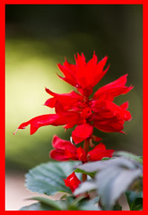 AH62_7755 (der_andyrandy) Tags: blumen blte natur garten macro rot amazingamazing canoneos7d
