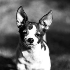 Hercules19Jun1600021-Edit.jpg (fredstrobel) Tags: atlanta blackandwhite usa pets dogs animals ga places phototype pawsdogs pawsatanta