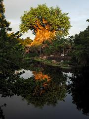 Walt Disney World - July 2016 (amyangel96) Tags: travel reflection water disney waltdisneyworld animalkingdom treeoflife