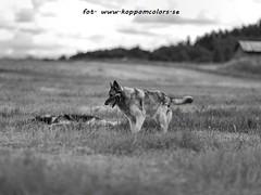20160621095822 (koppomcolors) Tags: dog dogs hund hundar koppomcolors