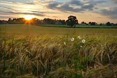 Cheshire barley (pentlandpirate) Tags: sunset england field barley cheshire farming agriculture congleton