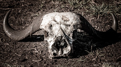 Buffalo skull (davdenic  in the sky ) Tags: africa savana savanna serengeti nature safari wildlife