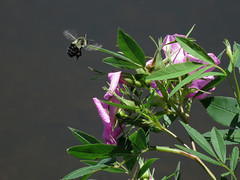 Bee and Flower (samfeinstein) Tags: canon bee s100 pineypoint