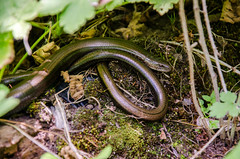 Common Slow-worm (alexspengler) Tags: animal outdoor kosova kosovo