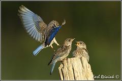 No room at the buffet table.. (Earl Reinink) Tags: blue bird bluebird easternbluebird earl reinink earlreinink niagara ontario canada nikon nikond5 trddeardra