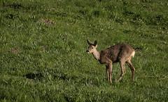 Bright Eye (MrBlackSun) Tags: morning france sunrise early nikon deer parc roe roedeer auvergne forez naturel parcnaturel d810 livradois nikond810 livradoisforez parcnaturelregionallivradoisforez