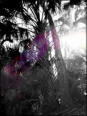 Lake Woodruff Sunset in the Palms (Chris C. Crowley) Tags: sunset sunlight sunshine silhouette blackwhite florida bokeh palmtree wetlands wilderness selectivecolor lakewoodruffnationalwildliferefuge lakewoodruffsunsetinthepalms