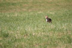 Renard roux (loudz57220) Tags: 150600 70d renardroux vulpesvulpes animals canon mammals mammifre nature redfox tamron wildlife