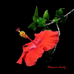 Hibisco/Hibiscus (Altagracia Aristy Sánchez) Tags: hibisco cayena hibiscus laromana quisqueya repúblicadominicana dominicanrepublic caribe caribbean caraïbe antillas antilles trópico tropic américa fujifilmfinepixhs10 fujifinepixhs10 fujihs10 sfondonero blackbackground