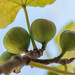 Fig+Cluster