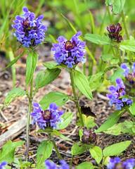 Heal-All (wplynn) Tags: county lake plant flower wisconsin chain wildflower prunella moen selfheal oneida vulgaris rhinelander healall