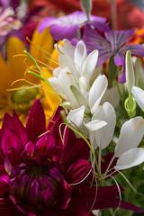 flowers from the farmer market (Samantha Forsberg) Tags: agrostemma botany cleome dahlia farmersmarket flora floral flower flowers rudbecki
