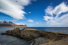 Wind on the wing (Bill Bowman) Tags: fulmarusglacialis northernfulmar berufjrur iceland sland easternfjords zeolite