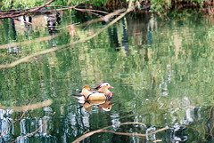 Mandarin duck (jiggott) Tags: isabellaplantation richmondpark mandarinduck film