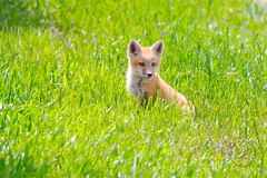 Sly Red (breann.fischer) Tags: redfox babyfox fox nature wildprairie greatplains northdakota nd2016contest