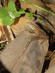 Lagartija lemniscata (Pablo Moreno V) Tags: lagartija lemniscata liolaemuslemniscatus lagarto reptil chile canon