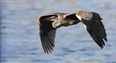 Great blue heron. _H508767 (Peacefulbirder) Tags: stc