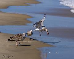 """Don't Think About It"" (Bruce Livingston) Tags: seagull beach atlanticocean nj newjersey njshore birds springlake americanherringgull"