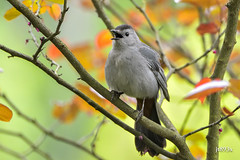 Gray Catbird (jt893x) Tags: 150600mm bird catbird d500 dumetellacarolinensis graycatbird jt893x nikon nikond500 sigma sigma150600mmf563dgoshsms songbird specanimal