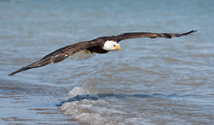 come fly with me (Susan Newgewirtz) Tags: nikond750 wildlife wildlifephotography raptor water eagle americanbaldeagle