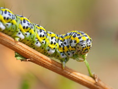 P1860171-001 (hoepping) Tags: tanacetum caterpillar catalonia cucullia tanaceti