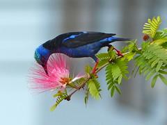 P1290376- Guit-guit saï mâle sur albizia saman (arbre à pluie) - Fortuna   17 mars 2016 (petite106) Tags: oiseau guitguitsaï albizia costarica guitguitsaïmâle