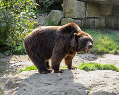IMG_5265 (jaglazier) Tags: 2016 91416 animals bears bielefeld bielefeldzoo copyright2016jamesaglazier germany mammals september teutoburg teutoburgforest teutoburgerwald zoos parks nordrheinwestfalen
