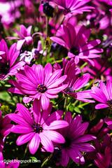 Aya Sofya4-0464erw (Luciana Adriyanto) Tags: travel turkey istanbul museum ayasofya hagiasofia flowers v1olet lucianaadriyanto