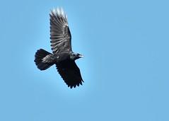 Corvus corax (kaius.artimo) Tags: corvuscorax commonraven kirkkonummi