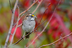 White-throated Sparrow-45258.jpg (Mully410 * Images) Tags: leaves sumac hawkridge minnesota lakesuperior birdwatching bird birds sparrow green northshore birding whitethroatedsparrow red