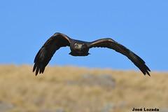 Aguila Mora Juvenil volando hacia mi (Jose Lozada (Argentina)) Tags: ave bird aguila mora juvenil cordoba argentina pampa de achala