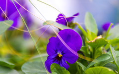 Darling Pansy (DobingDesign) Tags: pansy pansies flowers bokeh colours purple petals green tones organic nature succulent rich kent gardenofengland color magenta warmtones vibrant outdoor plant flower leaves leaf
