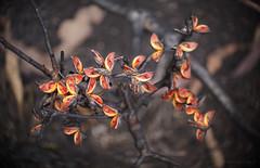 Life after fire_c (gnarlydog) Tags: fire life seeds scorched australia bushfire flora nature colorful adaptedlens kodakanastigmat63mmf27 swirly bokeh detail closeup