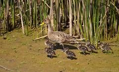 Pato jergn grande con cras / Yellow-billed pintail with her ducklings (Pabloskino) Tags: anas georgica spinicauda yellowbilled pintail pato jergon grande patos aves birds chile mantagua humedal chicks polluelos duckling duck wildlife chileno de nature green exposure gutierrez animals